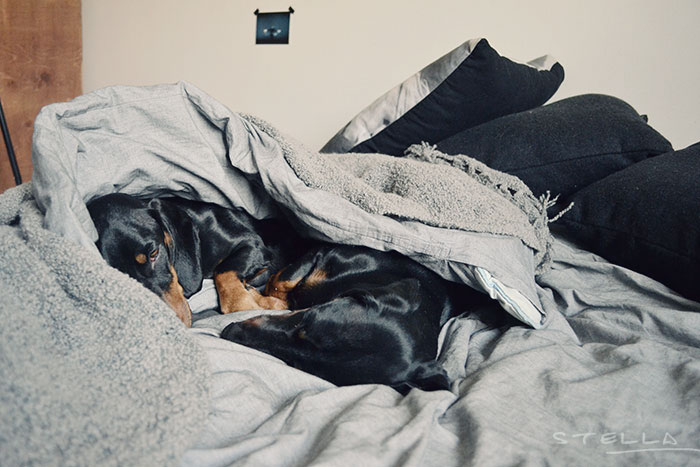 2013-11-stellaharasek-dachshund-luna-juno-2