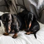 2016-01-05-stellaharasek-dachshund-in-distress-1