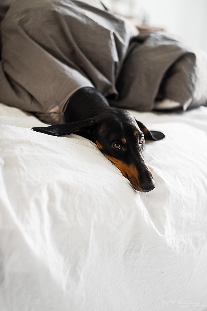 2016-01-05-stellaharasek-dachshund-in-distress-6